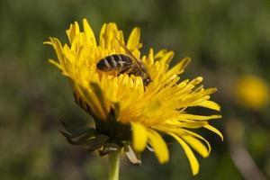 abeille à l'intérieur d'une fleur photo