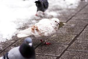 colombe blanche sur le trottoir photo