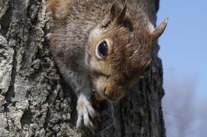 gros plan, de, a, écureuil photo