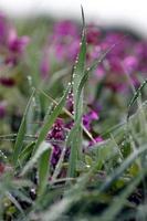 gouttes de rosée sur les brins d'herbe