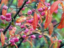 fruits rouges et feuilles d'automne photo