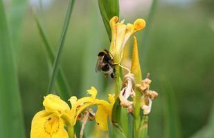 Abeille sur fleurs d'iris jaune photo
