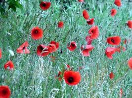 fleurs de pavot rouge photo