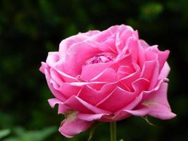pivoine rose dans le jardin