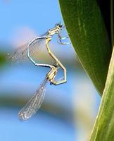 accouplement de deux libellules bleues