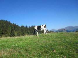 vache au pâturage dans les dolomites photo