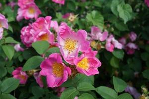 fleur rose colorée photo