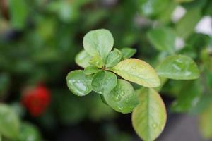 feuilles vertes avec des gouttes d'eau photo