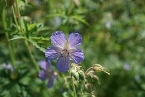 fleurs sauvages violettes sur le terrain photo