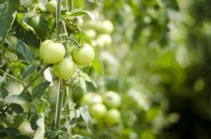 tomate sur vigne photo