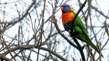 loriquet oiseau dans un arbre