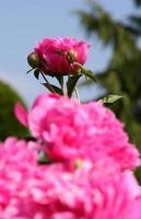 fleurs de pivoine rose