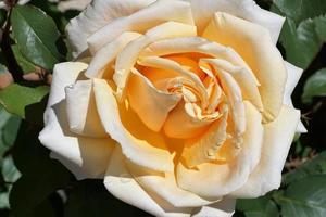 rose jaune dans le parc