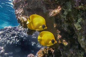 paire de poissons papillon photo