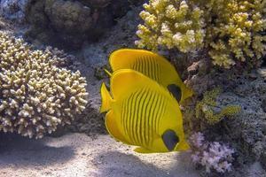 récif de corail et poisson papillon photo