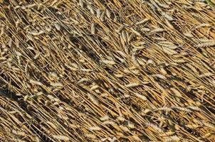 grains de blé nivelés photo