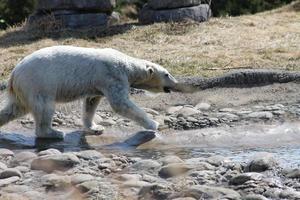 ours polaire dans l'eau photo
