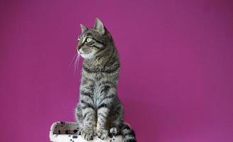 chat sur fond violet