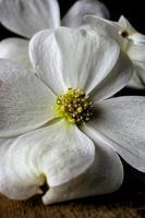 grande floraison de cornouiller