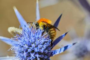 abeille pollinisant une fleur photo