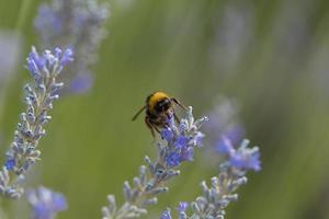 abeille sur lavande pendant la journée photo