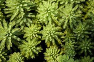 gros plan, de, succulentes vertes photo