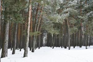 forêt de pins enneigée
