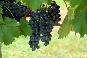 raisins dans le vignoble