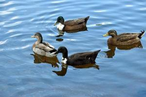 canards sur l'eau photo