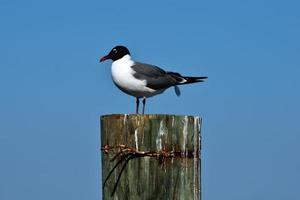 Mouette qui rit en Floride photo