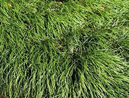 fond d'herbe ornementale