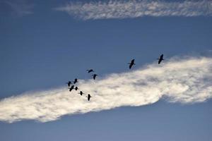 silhouettes de héron volant