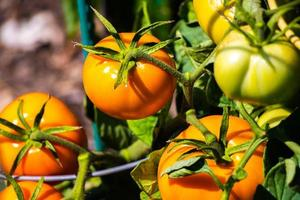 tomates orange sur la vigne