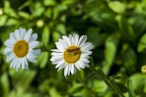 papillon sur une marguerite blanche