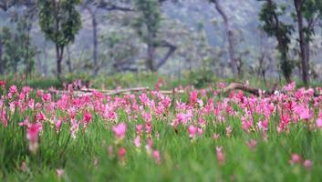 tulipes siam dans la forêt tropicale