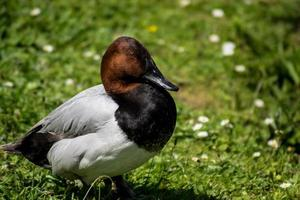 gros plan, de, a, canard pochard photo