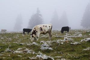 vaches à dreux du van