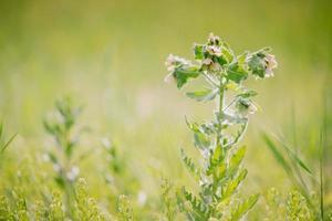 herbe avec bourgeon