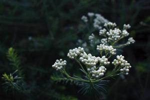 boutons de fleurs blanches