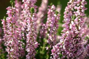 fleurs d'erika dans le jardin photo