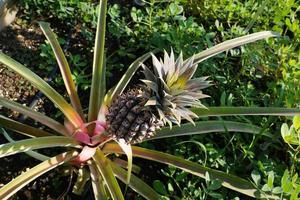 ananas au soleil
