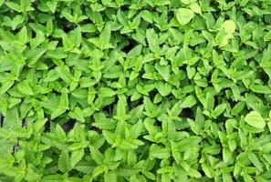 feuilles de menthe fraîche