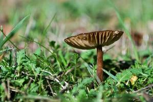 champignon sauvage dans l'herbe