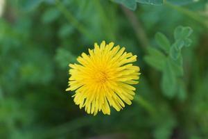 pissenlit jaune en été photo