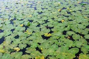 nénuphars sur un étang