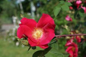 rose sauvage rouge photo