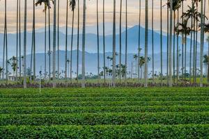 champ vert avec des cocotiers