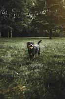 Rottweiler sur terrain en herbe photo