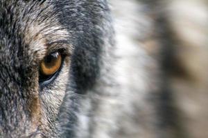 gros plan de l'oeil d'un loup photo
