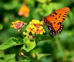 papillon fritillaire sur une fleur photo
